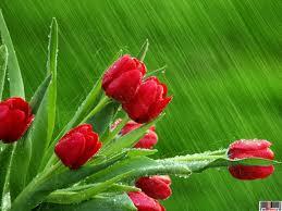 Lalele roșii, un simbol